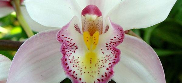 VII exposição de orquídeas acontece neste mês em Caxambu