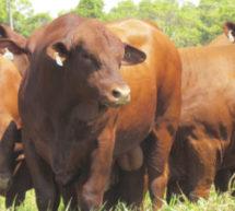 O melhor do rebanho bovino de Minas marca presença na Exposição Estadual Agropecuária
